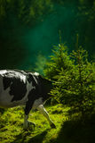 Black and White Cow on Green Grass Behind Green Leaf Plant Stock Photography