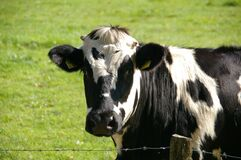 Black and White Cow in Green Grass Field Stock Images