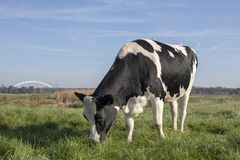 Black and white cow, heifer, in the Netherlands standing on green grass in a meadow, pasture, with at the background trees, reed, royalty free stock photo