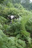 Hiding Cow, black and white, hiding in the ferns. A black and white cow hiding in a bushes and ferns.Green and wonderful surroundings Royalty Free Stock Photos