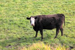 Black and white cow looking Royalty Free Stock Photography