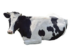 Black and white cow lying isolated. On a white background royalty free stock photography