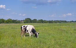 Black and white cow in a meadow Stock Image
