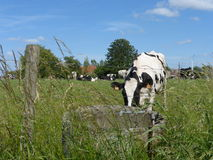 Black and white Cow in the meadow. Picture of a black and white Cow in the meadow Royalty Free Stock Image