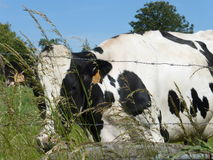 Black and white Cow in the meadow. Picture of a black and white Cow in the meadow Stock Photography