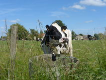 Black and white Cow in the meadow. Picture of a black and white Cow in the meadow Royalty Free Stock Photography