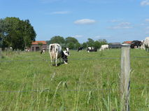 Black and white Cow in the meadow. Picture of a black and white Cow in the meadow Stock Image