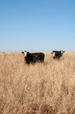 Black and white cow in a pasture Stock Photo