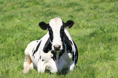 Black and White Cow in Pasture Stock Photos