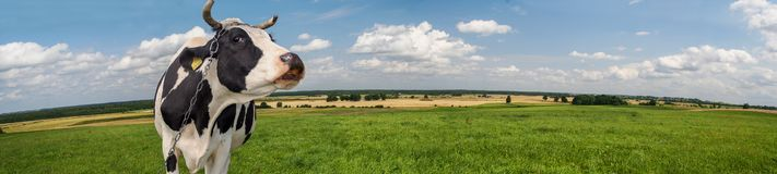 Black and white cow in a rural landscape. On a sunny summer day stock photography