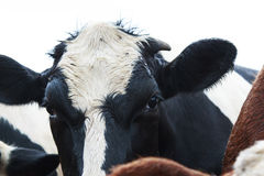 Black and White Cow`s eyes. Flies on a Black and White Cow`s face Royalty Free Stock Photo