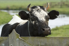 Black and white cow. A single black and white cow closeup Stock Photography
