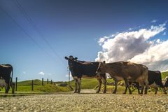 Black and White Cow Standing Beside Brown Cow during Daytime Royalty Free Stock Image