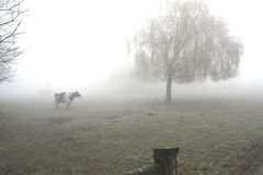 Cow in foggy pasture