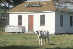 A black and white cow standing in front of a community house in VT Royalty Free Stock Photo
