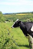 Black and white cow standing in a meadow next to a fence. Background blur Royalty Free Stock Images