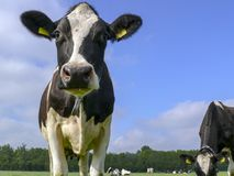 Black and white cow standing in a pasture under a blue sky. royalty free stock photos