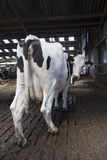 Black and white cow stands in stable en looks back at camera Royalty Free Stock Images
