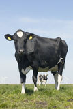Black and white cow stares in green grassy meadow under blue sky Stock Photography