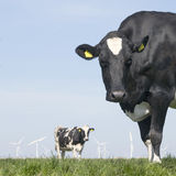 Black and white cow stares in green grassy meadow under blue sky Royalty Free Stock Photo