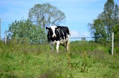 Black and white cow on summer pasture Royalty Free Stock Photography