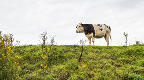 Black and white cow on top of a dike Stock Image