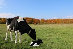 Black and white cow watching over her newborn baby laying in the field royalty free stock photo