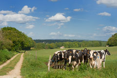 Black and white cows Royalty Free Stock Photos