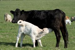 Black or white cows Royalty Free Stock Image