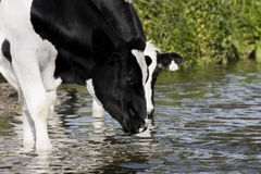 Black and white cows Stock Images