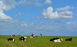 Black and white cows against blue sky Royalty Free Stock Images