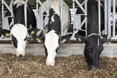 Black and white cows in barn feed Stock Photo