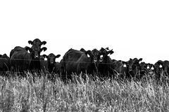 Black and white cows behind electic fence Stock Photo
