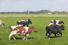 Black and white cows dance and run in dutch meadow on first day Royalty Free Stock Images