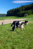 Black and white cows on farm. In Switzerland royalty free stock photos