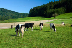 Black and white cows on farm. In Switzerland royalty free stock images