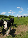 Black and White Cows in Field on Sunny Day. A herd of black and white cattle walking through a green field on a sunny day Royalty Free Stock Images
