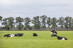 Black and white cows in field with tree line in the netherlands Royalty Free Stock Image