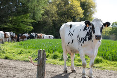 Black and white cows in fields Royalty Free Stock Image