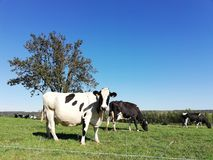 Black and white cows in a grassy field on a bright and sunny day in The Netherlands. royalty free stock photos