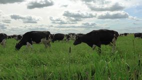 Black and white cows in a grassy field grazing on pasture. stock video footage