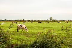 Black and white cows graze in the pasture as seen from the fence. Black and white cows graze in the Dutch pasture as seen from the reed-covered side. In the stock photos