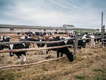 Black and white cows grazes in pen, industrial breeding of cows on a dairy farm Royalty Free Stock Photos