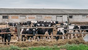 Black and white cows grazes in pen, industrial breeding of cows on a dairy farm Royalty Free Stock Image