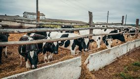 Black and white cows grazes in the pen, industrial breeding husbandry of cows on dairy farm stock photography