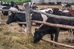 Black and white cows grazes in the pen, industrial breeding husbandry of cows on dairy farm royalty free stock photography