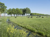 Black and white cows in green grassy dutch meadow with blue sky in the netherlands between utrecht and Leerdam. Black and white cows in green grassy dutch summer Royalty Free Stock Image