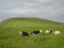 Black and white cows on a hill in Ireland Stock Photos