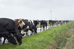 Black and white cows in  landscape near farm nin the netherlands Stock Images