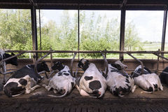 Black and white cows lie in stable with green background Royalty Free Stock Photo